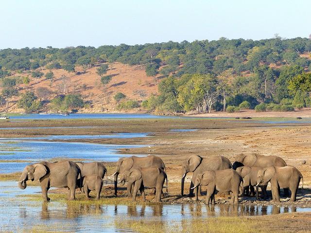 Chobe elephants  by Martin Pilkington