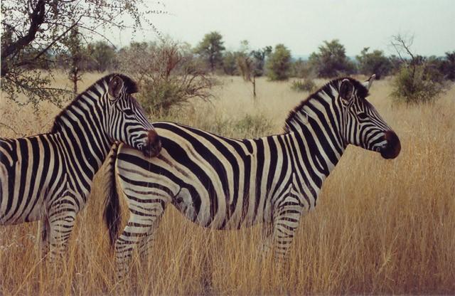 Zebras in Kruger Park