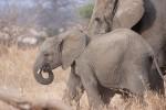 Tarangire Park elephants, Tanzania