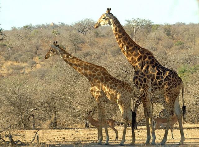 Giraffebuck