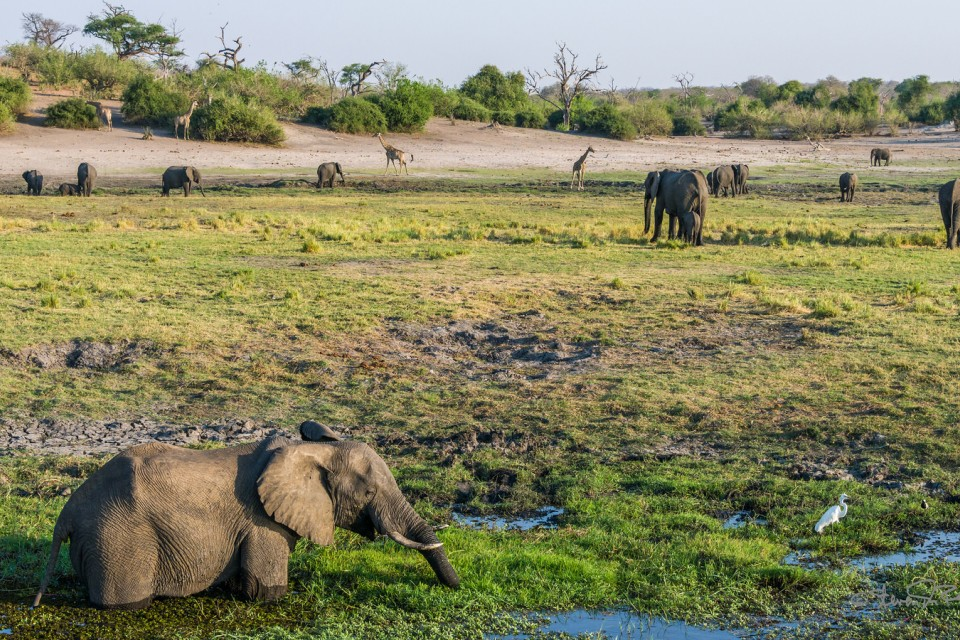 Chobe elephants  by Steven dosRemedios