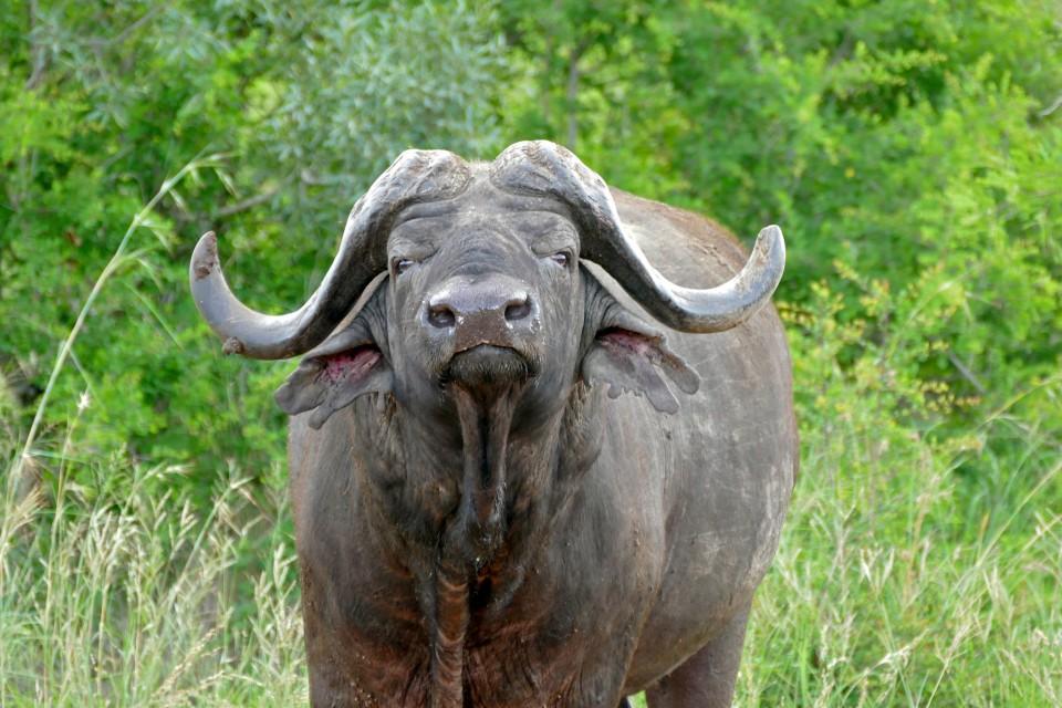 Kruger buffalo  by Bernard Dupont