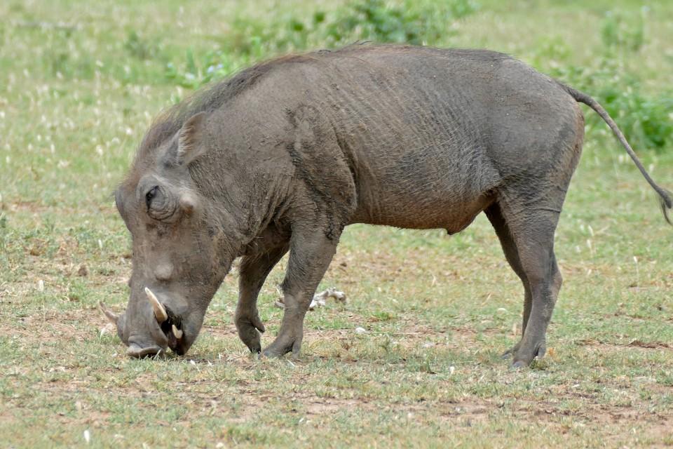 Kruger warthog  by Bernard Dupont