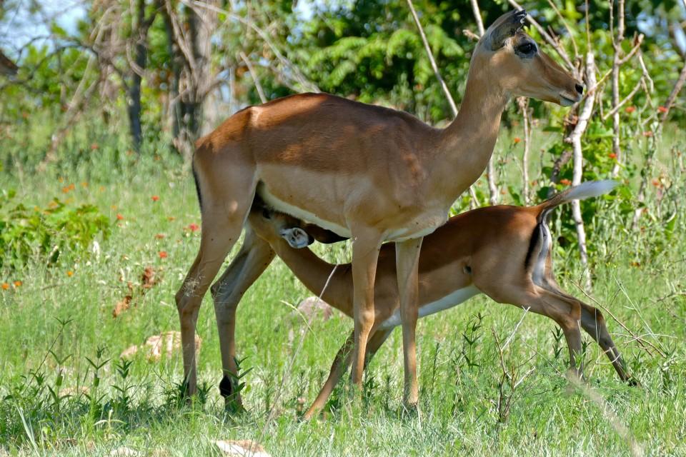 Impalas  by Bernard Dupont
