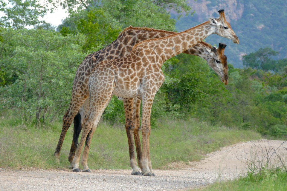 Kruger giraffes  by Bernard Dupont