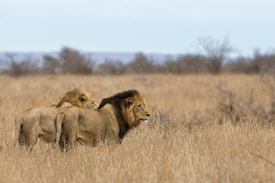 Lions on patrol in Kruger