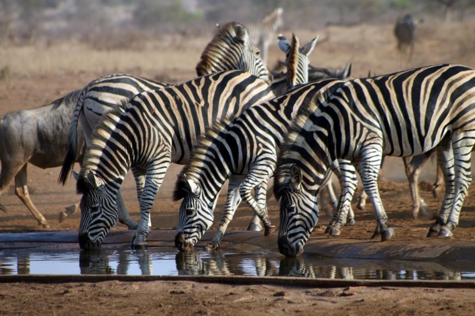 Kruger zebras  by flowcomm