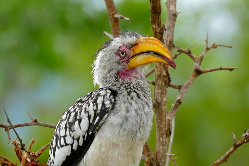 Hornbill  by Bernard Dupont