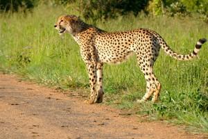 Kruger cheetah by Bernard Dupont