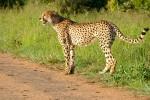 Kruger cheetah