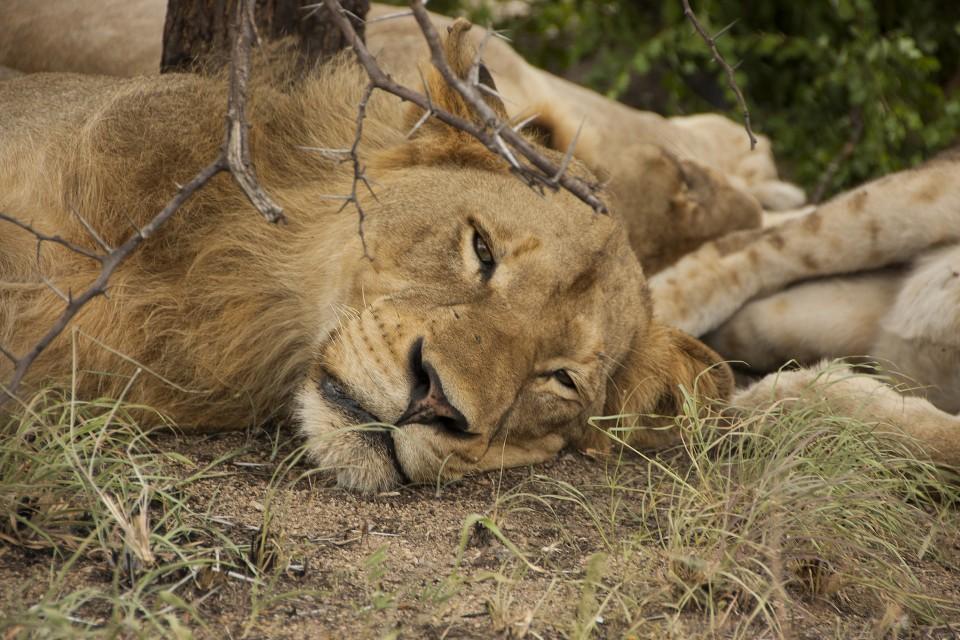 Kruger lion  by Bryce Walker