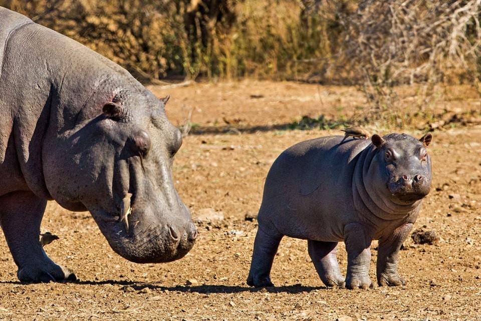 Kruger hippos