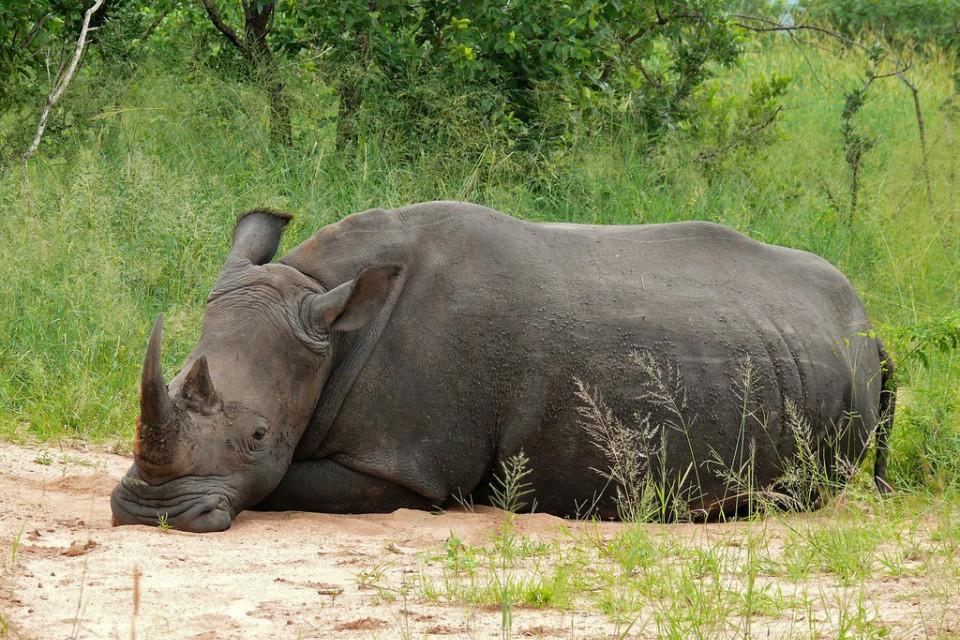 White rhino  by Bernard Dupont