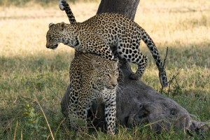 Leopards in Sabi Sands