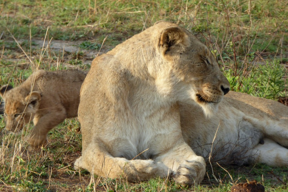 Sabi Sand lioness and cub  by Regina Hart