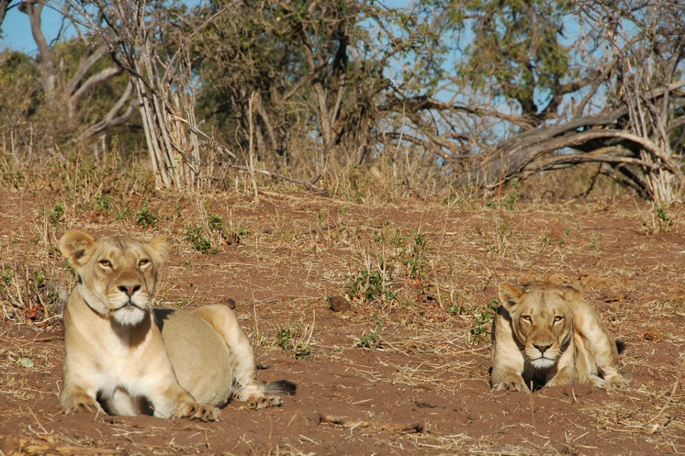 Chobe lions  by andytime