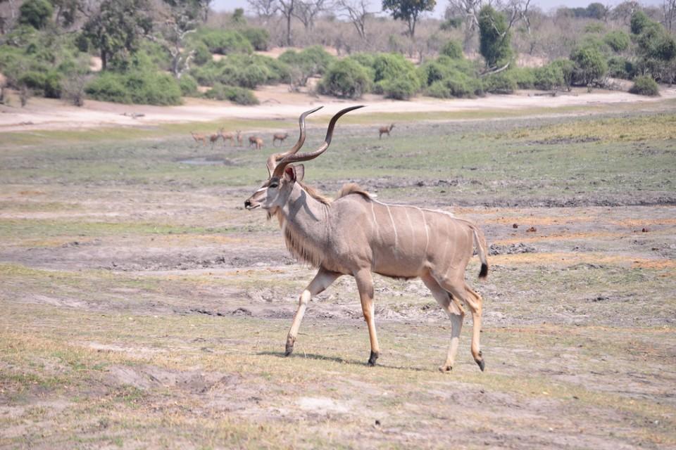 Chobe kudu  by abi.bhattachan