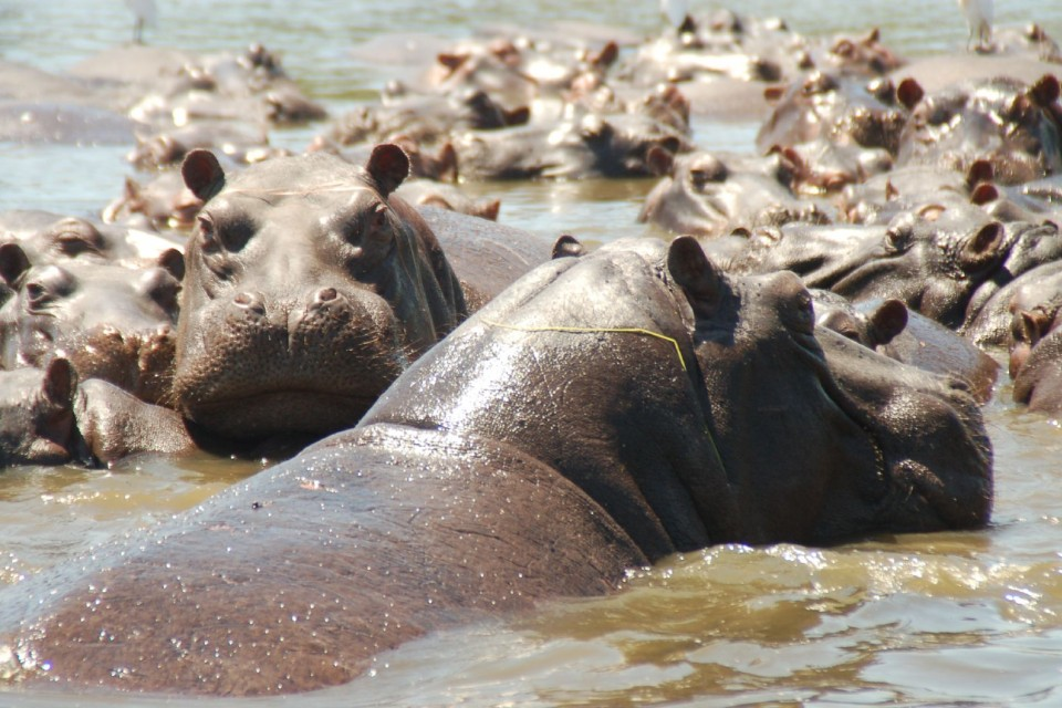 Chobe hippos  by Joe Ross