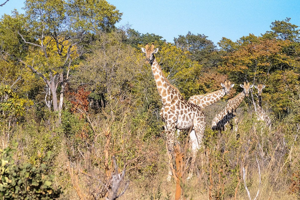 Hwange giraffes  by Letizia Barbi