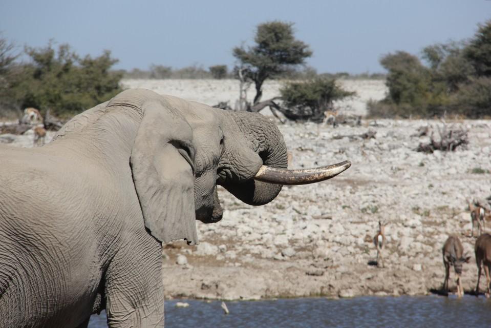 Etosha elephant  by Laika ac