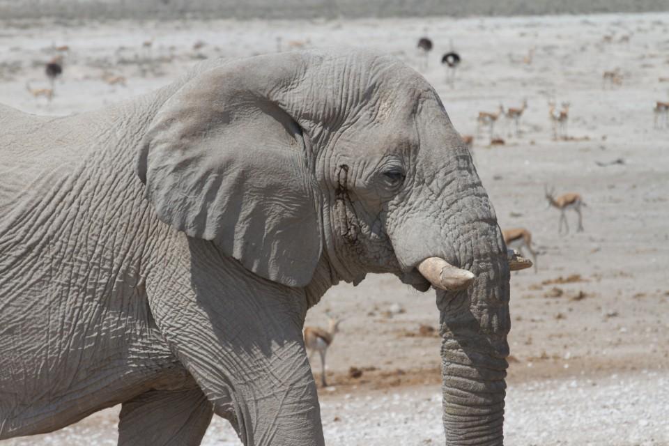 Etosha elephant  by Joanne Goldby