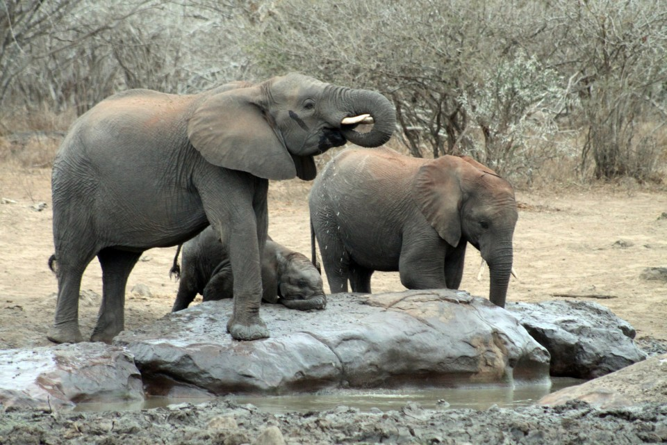 Kruger elephants  by flowcomm