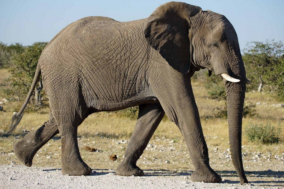 Etosha elephant  by Heribert Bechen