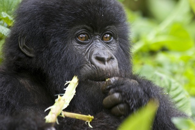 Young mountain gorilla  by Hjalmar Gislason