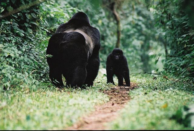 Uganda gorillas  by Cristoffer Crusell