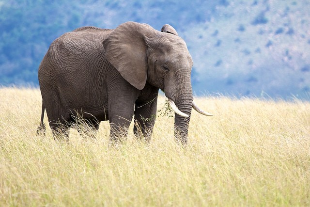 Masai Mara elephant  by Stuart Richards