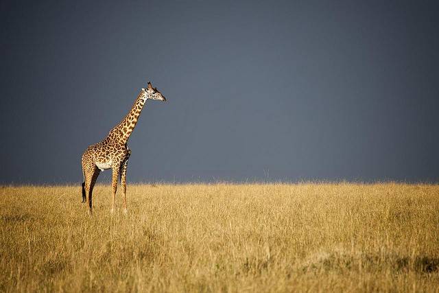 Masai Mara giraffe  by Christopher Michel