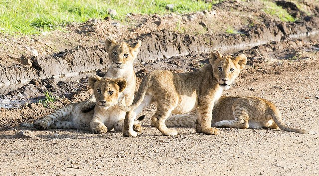 Masai Mara lion cubs  by Christopher Michel