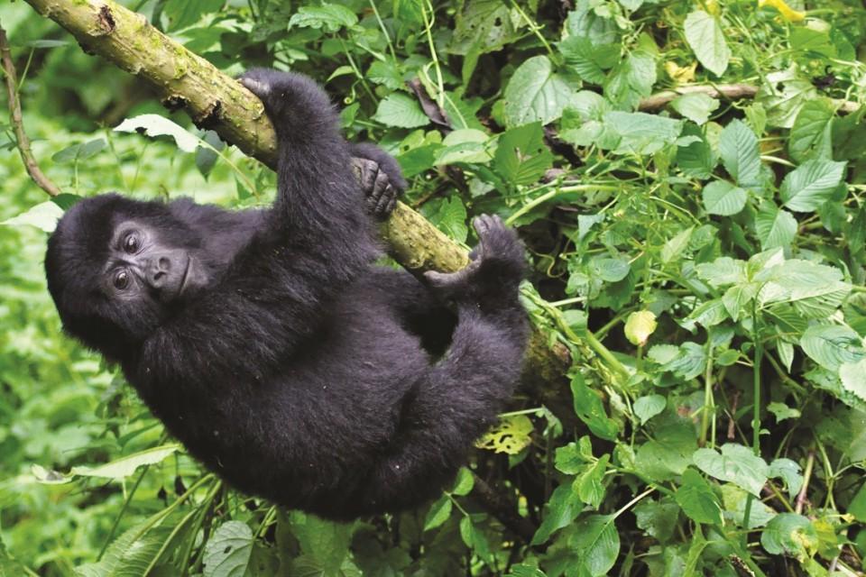 Gte3 gorilla baby