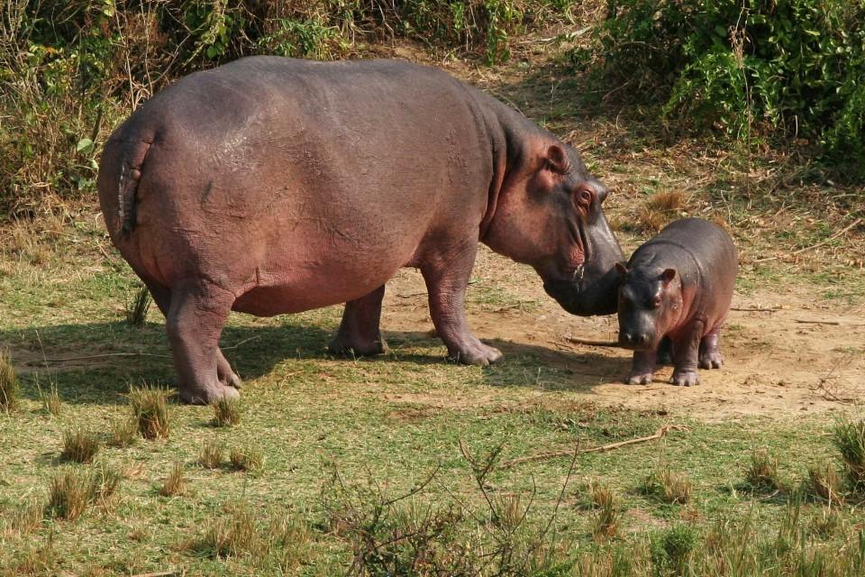 Queen Elizabeth hippos  by snarglebarf
