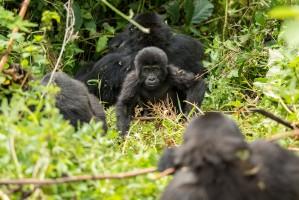 Gorillas by Justin Raycraft