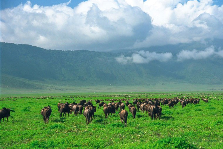 Crater wildebeest