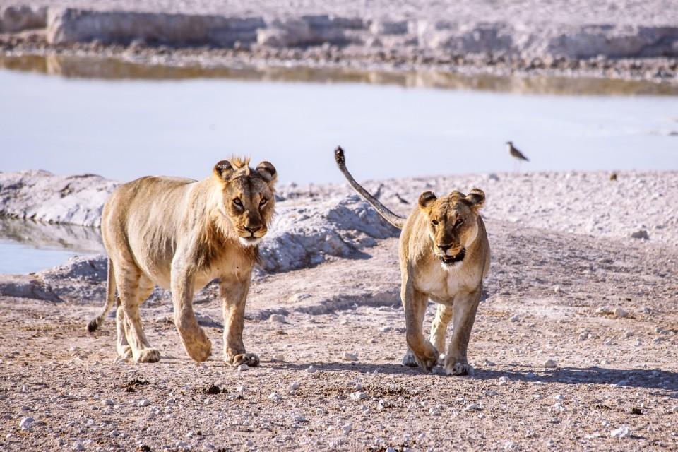1.etosha lions