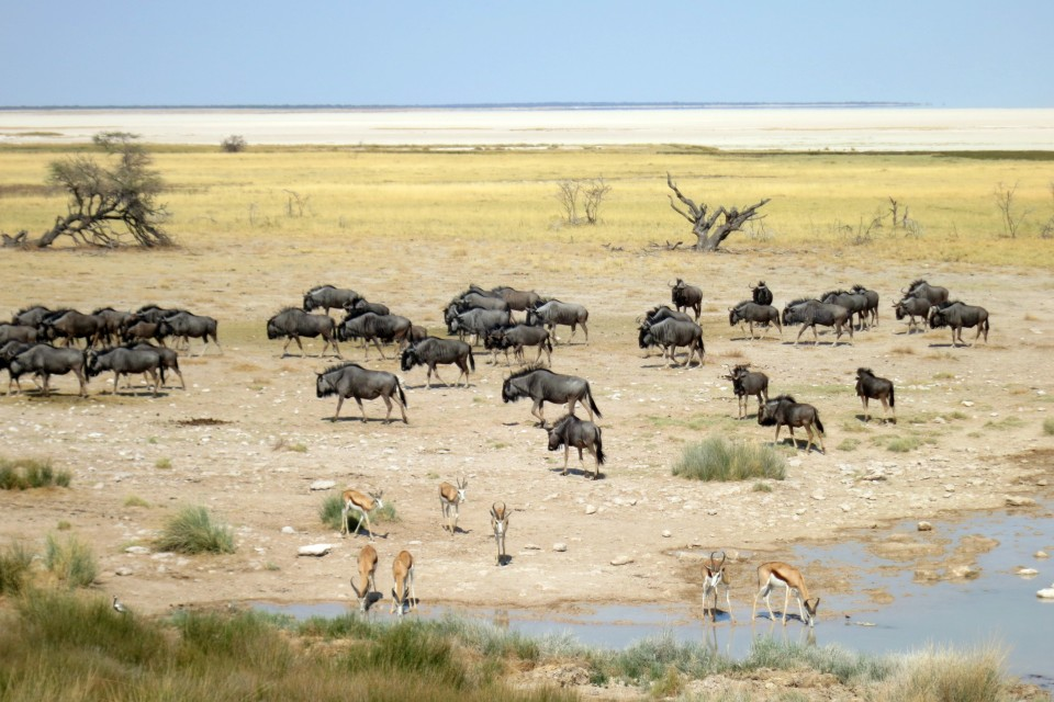 Wilderbeest impala salt pan
