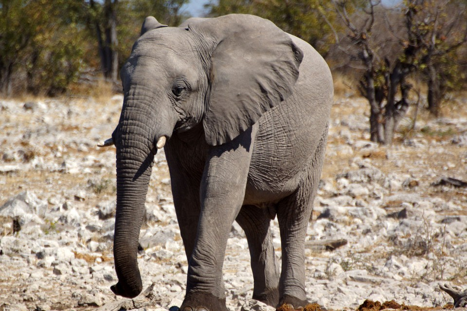 Etosha Park elephant  by Heribert Bechen