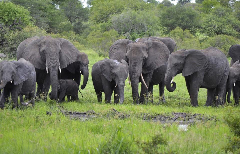 Kruger elephants  by Vaughan Leiberum