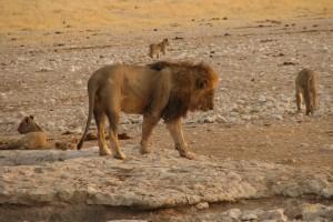 Etosha lion by NH53