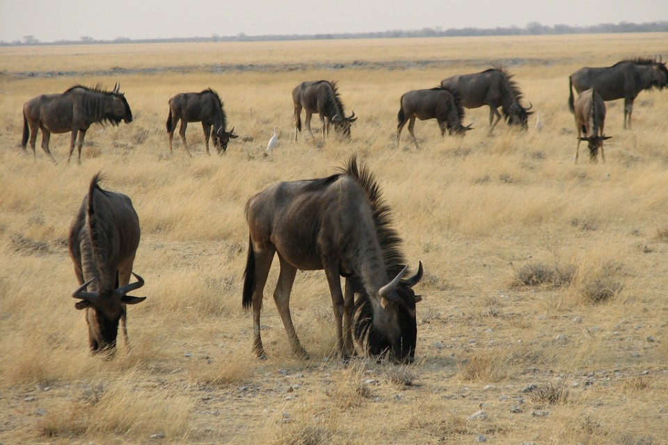 Blue Wildebeest  by NH53