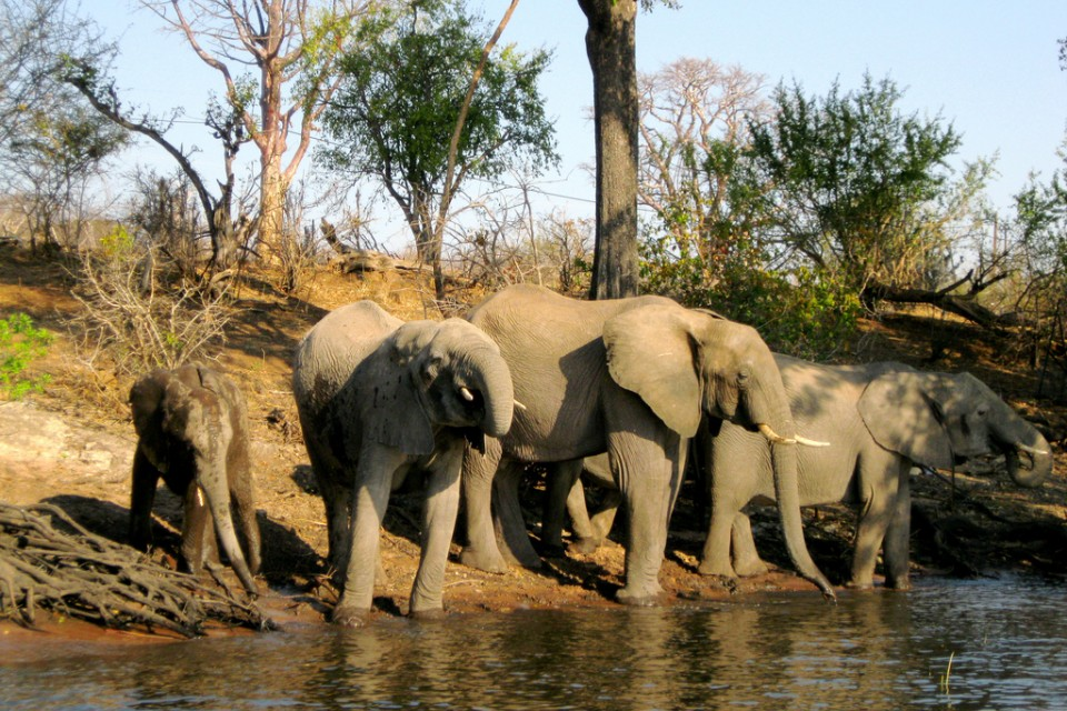 Chobe elephants  by Athena Lao