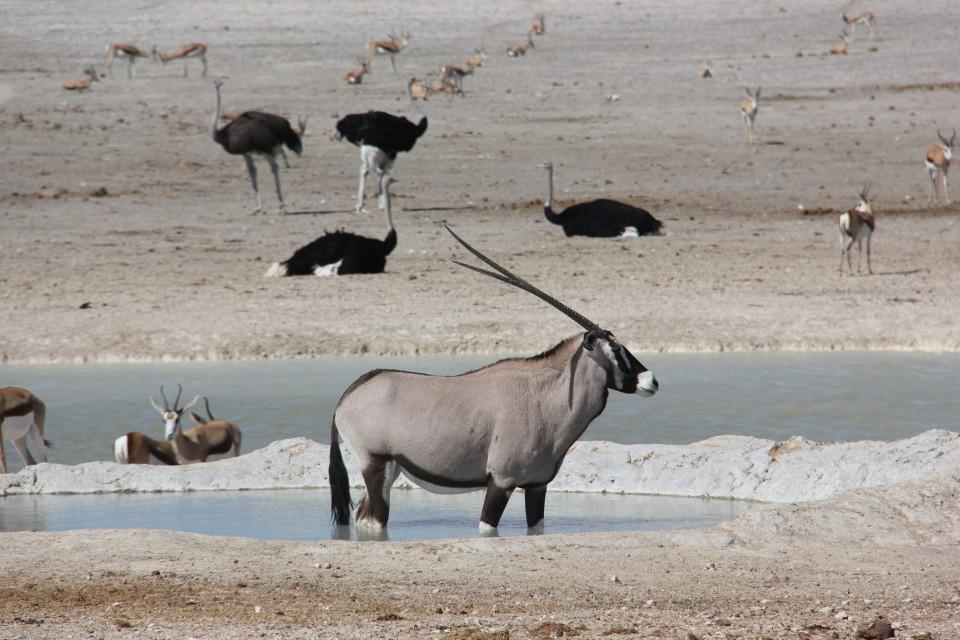 Etosha oryx  by Laika ac