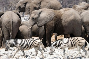 Etosha elephants and zebras by simonsimages