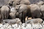 Etosha elephants and zebras