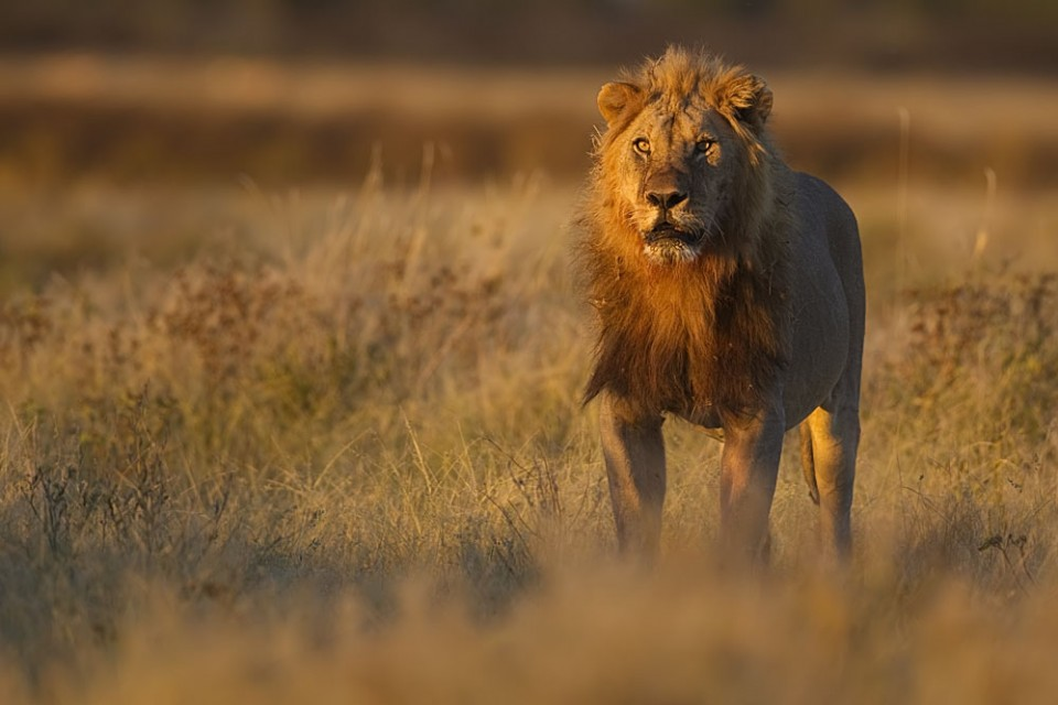 Etosha lion  by Yathin
