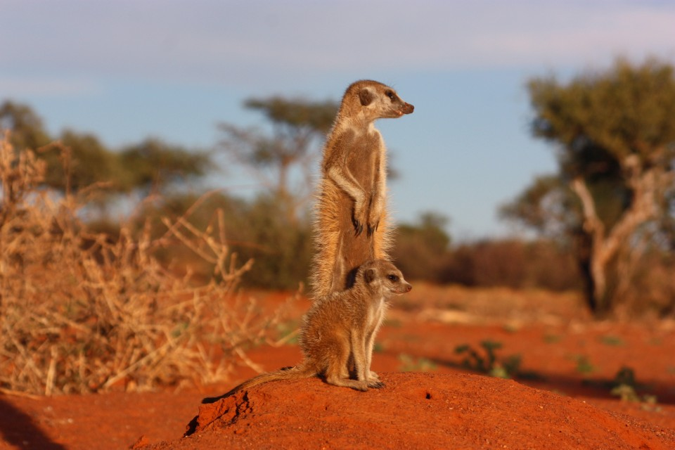 Kalahari meerkat  by Charles Sharp