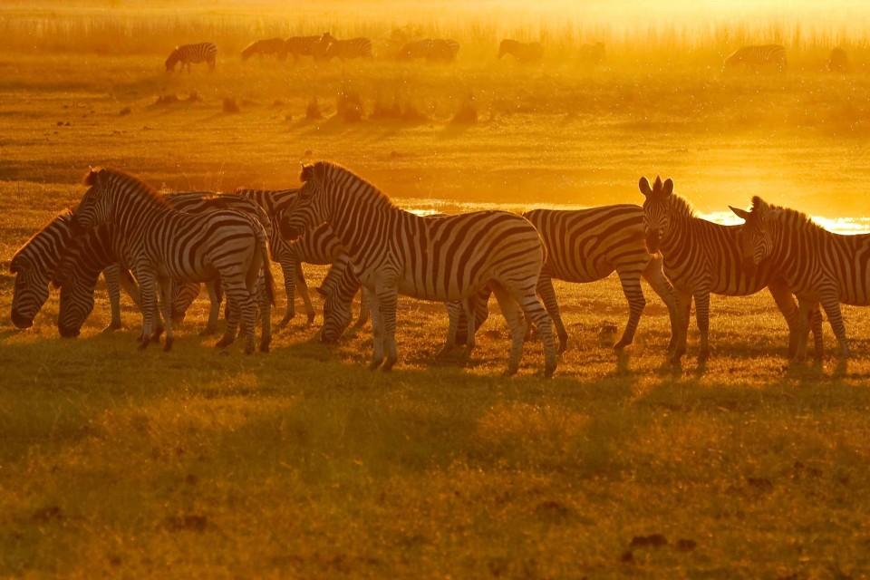 Chobe zebra