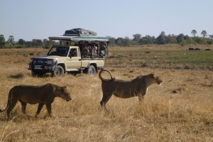 Game drive lions